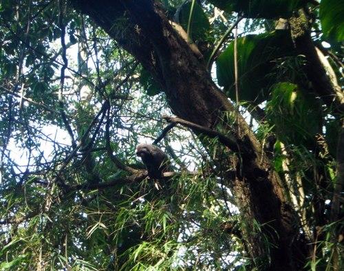 monkey/macaco - pão de açucar